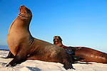 South America, Ecuador, Galapagos. Sea Lions on Mosquera Island.