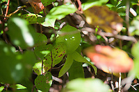 As if crouched down and hiding, a Cobra lily is seen tucked away below leafy branches at the Darlingtonia Wayside.