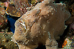 Anilao, Philippines; a tan Giant Frogfish (Antennarius commersoni) sitting on the coral reef