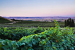 Vines of wine grapes are lit by the pastel hues of sunrise at the Ste Chapelle Winery in Caldwell, Idaho.