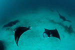A parade of giant manta rays (Manta birostris) at a cleaning station. North Raja Ampat, West Papua, Indonesia