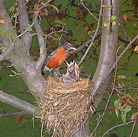 American Robin Nest (Turdus migratorius), adult with hungry babies in Ohio