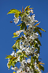 A cherry tree branch is covered its full bloom of white flowers with a honeybee landing on one of the blooms.