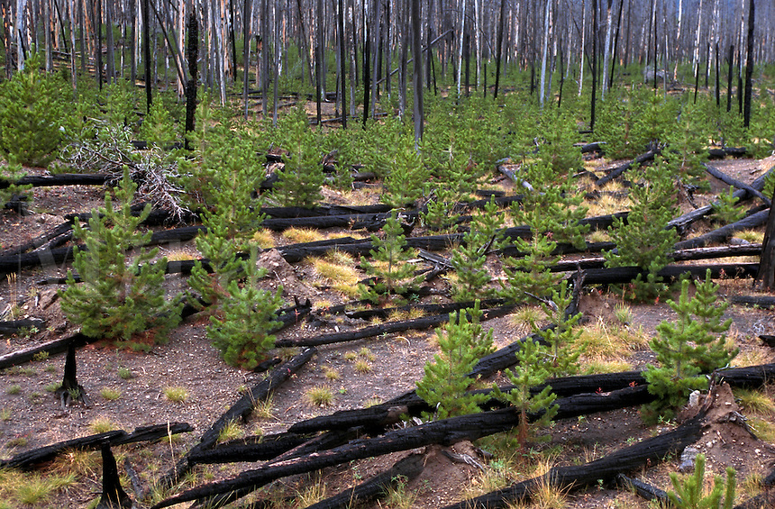 New growth among burned and fallen lodgepole pine timber shows recovery after forest fire. Yellowstone National Park, Wyoming.