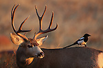 Mule Deer Buck with Magpie