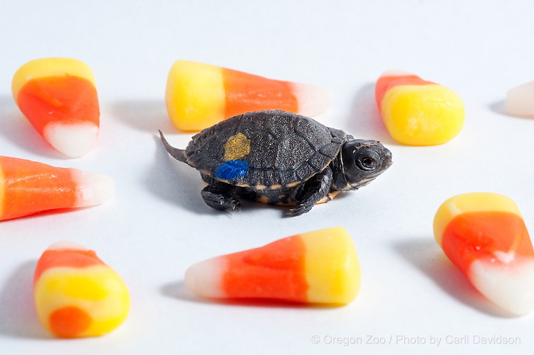 Western pond turtle  (Actinemys marmorata) hatched at the Oregon Zoo as part of the pacific northwest Future for Wildlife program.