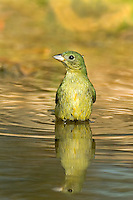 510440116 a beautiful wild female painted bunting passerina ciris bathes in a small pond in the rio grande valley of south texas during migration