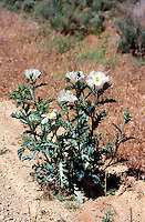 POPPIES - PAPAVERACEAE FAMILY<br /> Prickly Poppy (Argemon Munita)