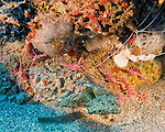 Camel shrimp (also popularly known as candy or dancing shrimp) emerge from their rocky hiding place at dusk, intent on finding food on the bottom and amid surrounding rocks.