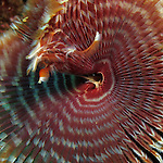 Kenting, Taiwan -- Close-up of the fan worm Sabellastarte indica of the Sabellidae family.<br />