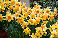 Yellow daffodil flowers, Large cup Narcissus 'Fortissimo' in containers at Filoli Garden in spring, California
