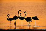 Greater flamingoes, Phoenicopterus ruber, at dusk, Walvis Bay lagoon, Namibia