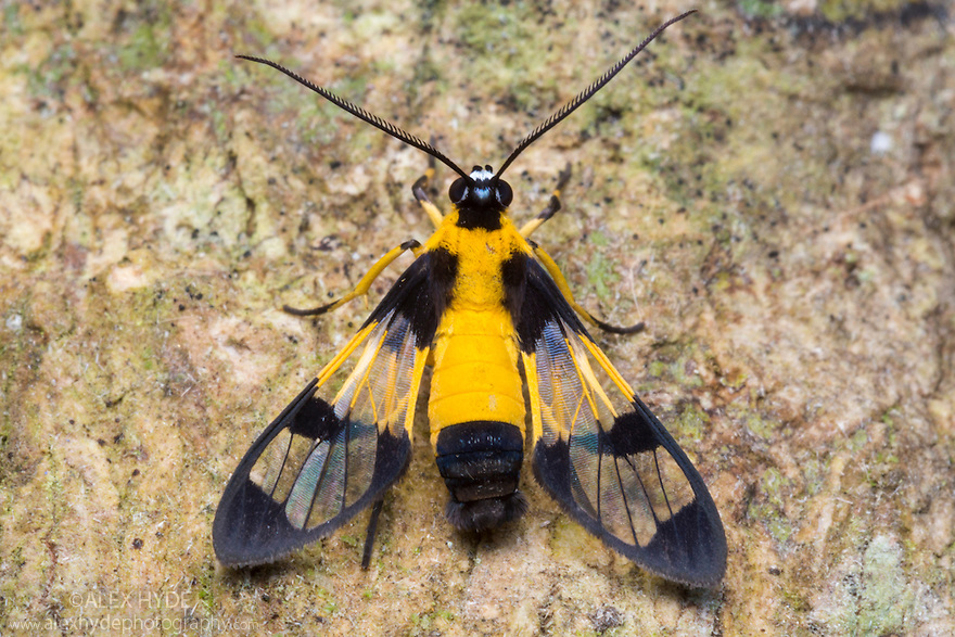 Clearwing moth {Loxophlebia sp.}, which mimics various species of wasp as a defence. Cordillera de Talamanca mountain range, Caribbean Slopes, Costa Rica. May.