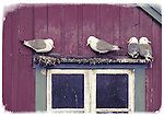 Kittiwakes perched on window frame, Lofotens