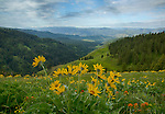 Idaho, North Central, White Bird. Arrowleaved Balsamroot on Free Use Ridge in the Nez Perce National Forest with a view of the Skookumchuck Creek Drainage and distant Seven Devils Range in Spring.