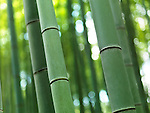 Closeup of bamboo at Arashiyama, Kyoto, Japan.