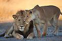 Botswana, Okavango Delta, Moremi; lion mating pair, lioness approaching male