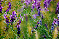 Purple vetch, along with a few foxtails, grow along Copeland Creek near Sonoma State University in Rohnert Park in Sonoma County in Northern California.