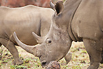 White Rhinoceros