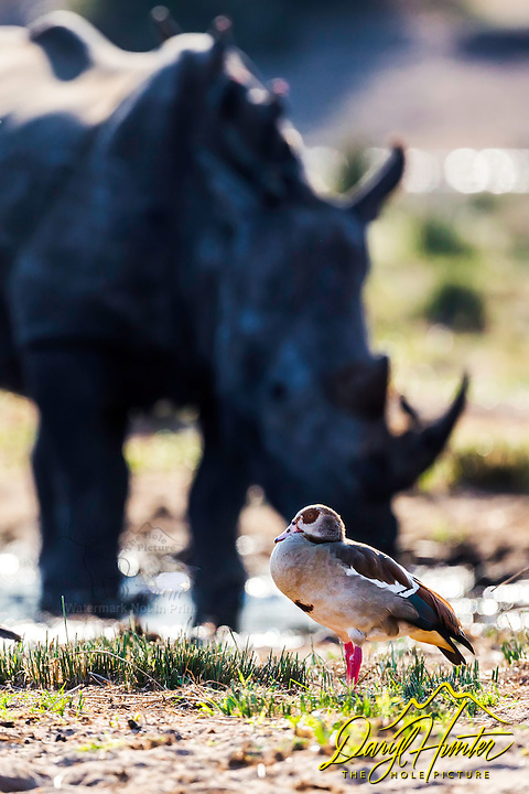 Egyptian Goose, Rhino, Kruger National Park.  The juxtaposition of the colorful goose and the, out of depth of field, rhino caught my fancy.<br />