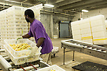 July 24, 2015. Candor, North Carolina.<br />  Maikai Shaburger moves crates of live chicks. After being sprayed with Newcastle/Bronchitis vaccine, the chicks are readied for transport to the facilities where they will mature. <br />  Chicken producer Perdue Farms Inc. has become the first major poultry company to attempt to raise more than half of its flock with no antibiotics, human or for animals only. As demand for meats free of medicines has risen, Perdue has upgraded their facilities to increase cleanliness and sterility to allow the company to cut antibiotics out of the chicken hatching process.