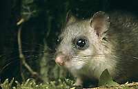 Siebenschläfer, Portrait, Glis glis, edible dormouse, edible commoner dormouse, fat dormouse, squirrel-tailed dormouse, Schläfer, Bilch, Bilche
