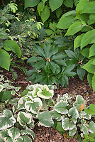 Shade garden plants Hellebore, Brunnera Dawson's White, Cephalotaxus plum yew