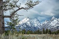 Stormy Day, Limbar Pine, Cathedral Group, Grand Tetons, Grand Teton National Park