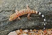 A young Socotran Ground Gecko (Hemidactylus homoeolepis) endemic to Socotra, Yemen