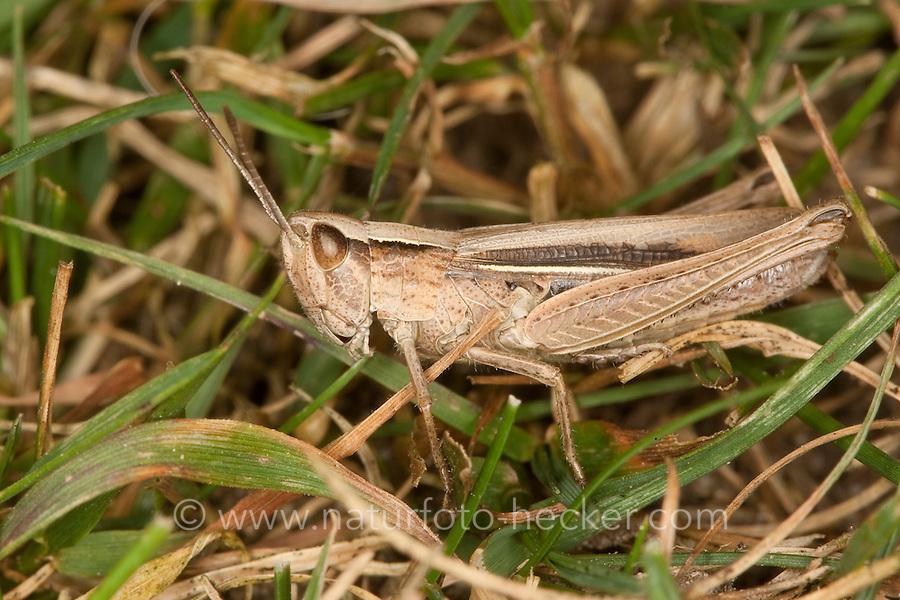 Weißrandiger Grashüpfer, Weissrandiger Grashüpfer, Weibchen, Chorthippus albomarginatus, Chorthippus elegans, lesser marsh grasshopper