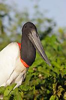 RB6276-D. Jabiru Stork (Jabiru mycteria), tallest (to 1.5m) flying bird in the Americas. Pantanal wetlands region. Brazil, South America.<br /> Photo Copyright &copy; Brandon Cole. All rights reserved worldwide.  www.brandoncole.com