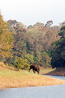 20080131_Periyar, India_ Wild elephants graze the banks of the Periyar Lake, which is located in the Periyar Wildlife Sancuary in the Southern Indian state of Kerala.  Photographer: Daniel J. Groshong/Tayo Photo Group