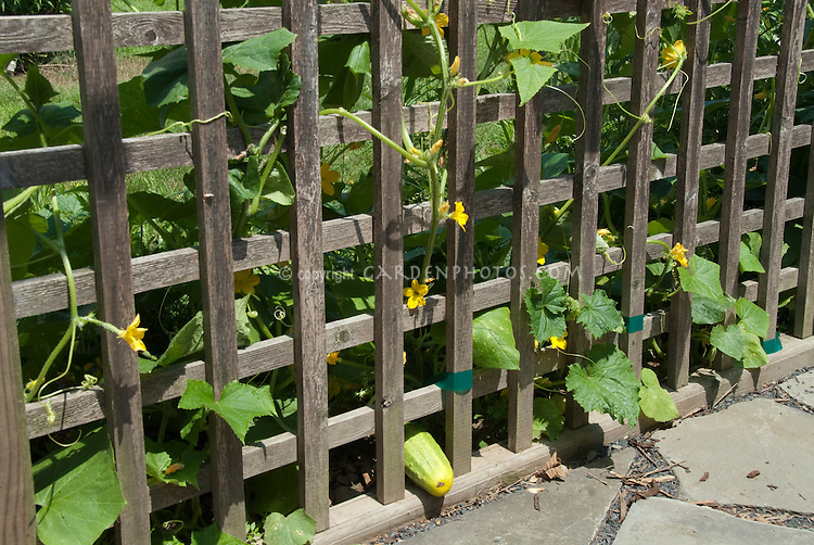Cucumber vegetable plants in garden supported by vertical wooden lattice trellis