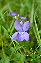 Common dog violet (Viola riviniana), in East Sussex grassland, early May.