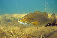 Smallmouth Bass, Underwater