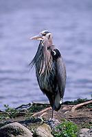 Great Blue Heron (Ardea herodias) standing on Shore beside Lake