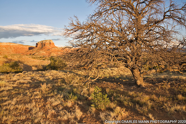 The late afternoon sun highlights an old pinon tree and the sandstone  cliffs at Ghost Ranch near thervillage of Abiquiu, New Mexico