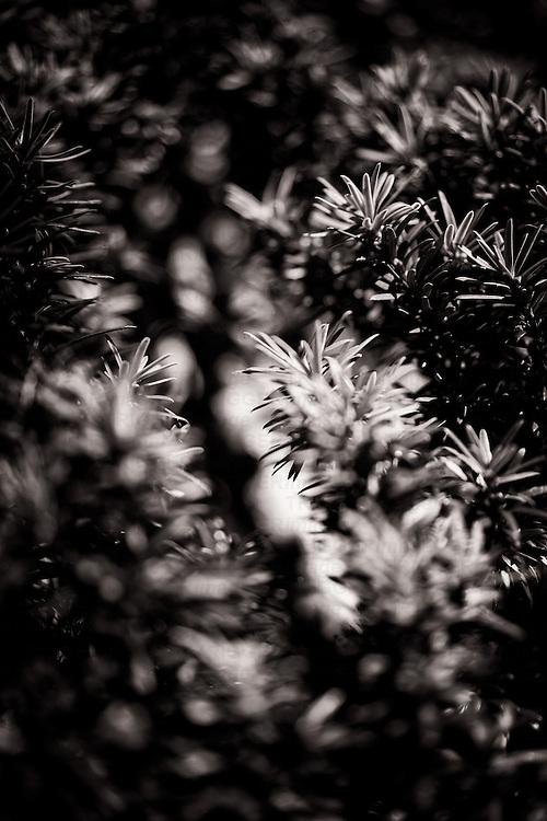 Close up of evergreen shrub in English garden