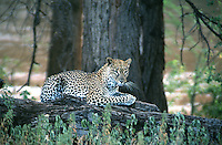 Resting leopard in the Samburu National Park. The Samburu National Park is different than the typical vision of Africa. The landscape is constantly changing with rocky volcanic hillsides, winding rivers, large acacia trees and branched Doum palm, with endless thickets.