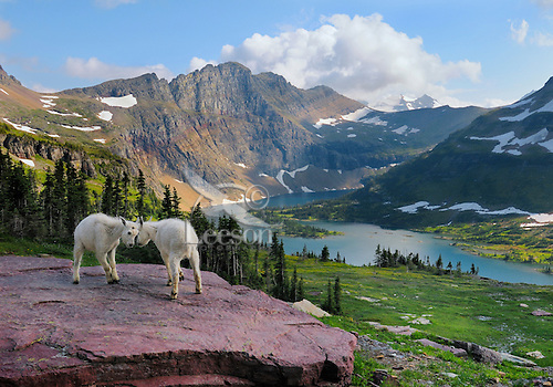 Mountain Goats kids playing