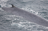 Blue whale ( Balaenoptera musculus) back showing dorsal fin and distinctive mottled colouring. Greenland Sea. North Atlantic