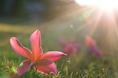 Backlit pink plumeria flowers on the grass, O'ahu.
