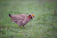 572110210 a wild male lesser prairie chicken tympanuchus pallidicinctus an endangered species struts and displays at a lek on a ranch near canadian texas united states
