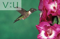 A male Ruby Throated Hummingbird ,Archilochus coluloris,