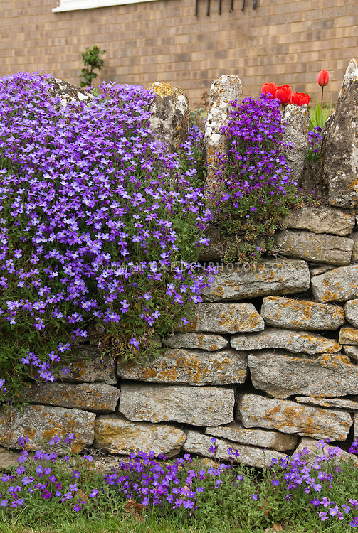Aubrieta and tulips spring bulbs in bloom atop stone wall in spring garden scene
