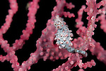 Pygmy seahorse in fancoral (Hippocampus bargibanti). Misool, Raja Ampat, West Papua, Indonesia, January 2010