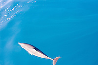 Bottlenose dolphin in the Bismarck Sea, PAPUA NEW GUINEA . Photo: Joli