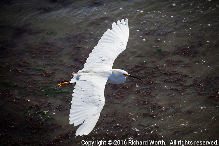 A Snowy egret, with its wings spread wide, flies by along the shores of San Francisco Bay in Alameda, California.