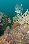 Sea of Cortez, Baja California, Mexico; a Crown-of-Thorns Sea Star (Acanthaster ellisii) moving slowly across the rocky reef, as a Yellowtail Surgeonfish (Prionurus punctatus) swims past Robust Gorgonians