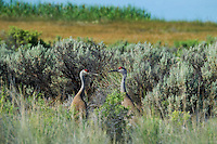 512660004 a pair of wild sandhill cranes grus canadensis face each other in tall sagebrush in modoc national wildlife refuge california